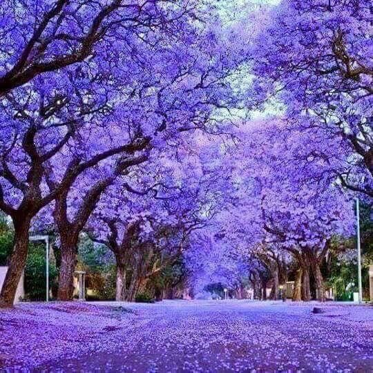 Jacaranda trees in full bloom in Australia.  https://lovehatelemonslices.tumblr.com/post/153718973083/scholaroftheuniverse-devolvedbananas