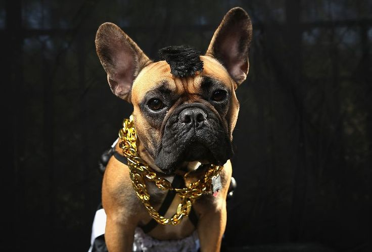 Gus, a French Bulldog, poses as Mr. T. #Halloween #costume #pets (Getty Images)