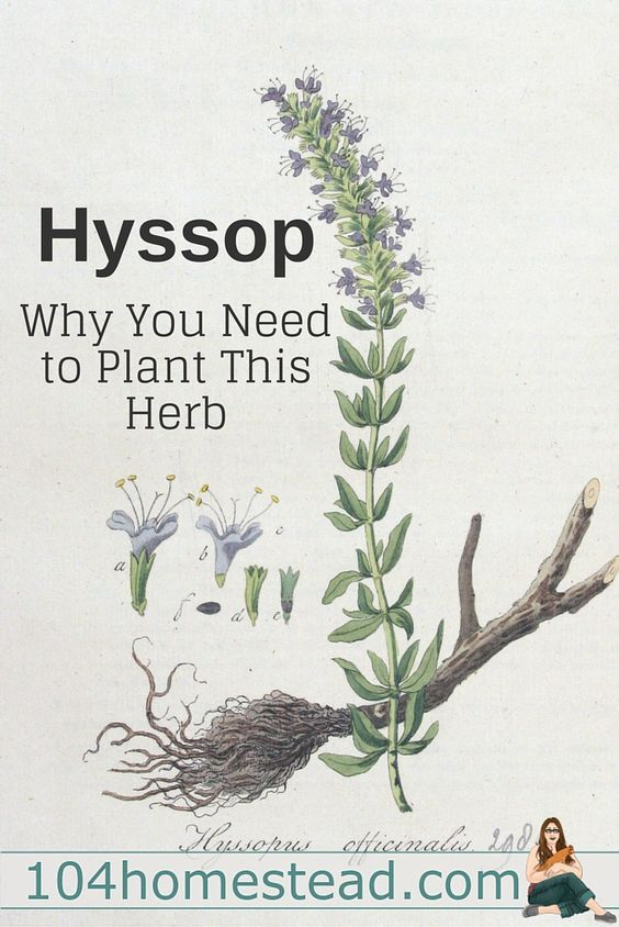 Hyssop (Hyssopus officinalis), is a member of the mint family and you'll want to make room for it in your herb garden this year.