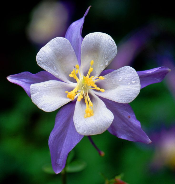 Columbine Floral And Gifts: 25+ Best Ideas About Columbine Flower On Pinterest