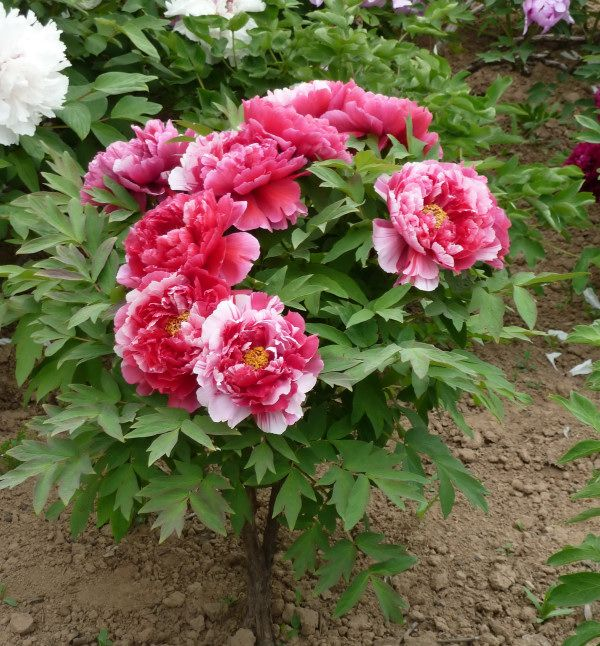 mature peony divide in summer
