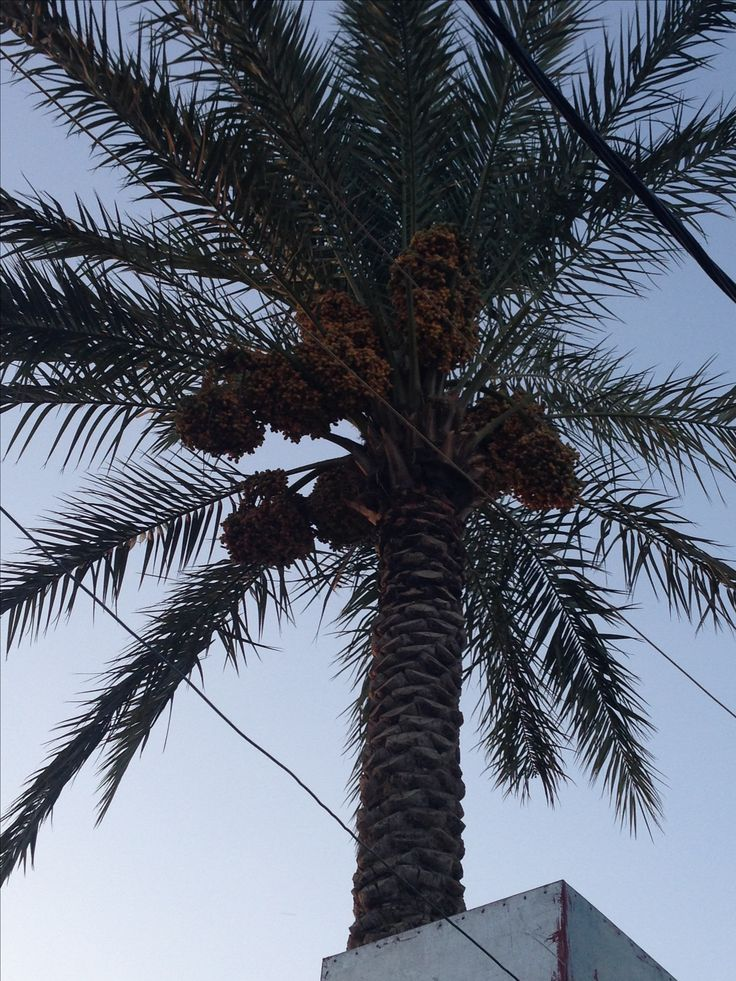 Palms with dates