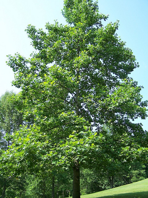 17 best tulip poplar images on Pinterest Beautiful Trees and