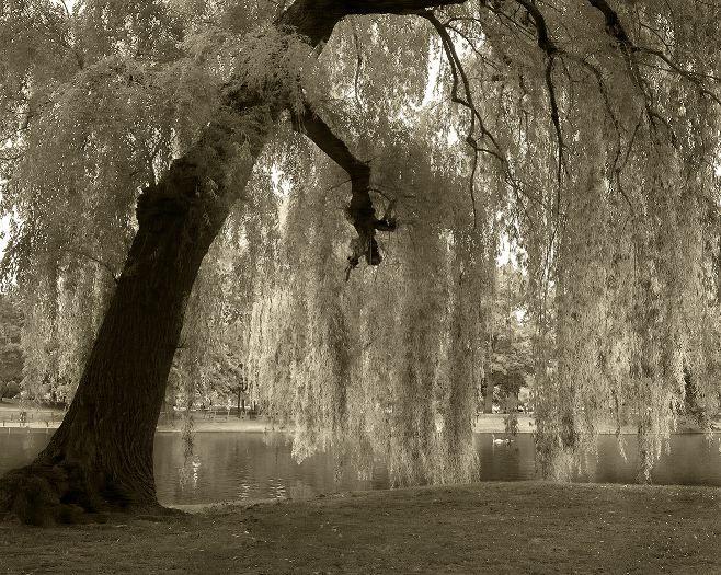 http://2.bp.blogspot.com/_TIE7iFw_pC0/TFiB6_c83hI/AAAAAAAAACQ/H0661AxHzuI/s1600/Weeping_Willow_medium.jpg