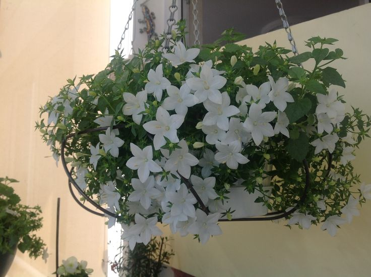 Beyaz maviş çiçeği (campanula carpatica)