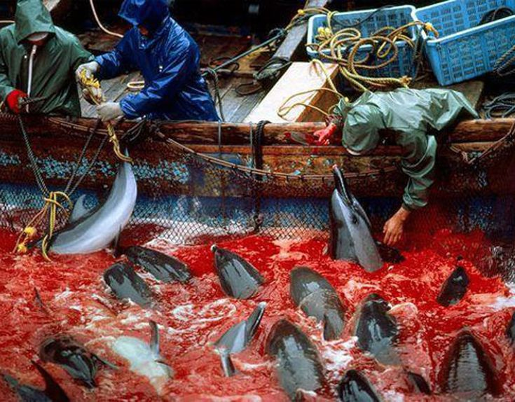 The Taiji dolphin drive hunt is a dolphin drive hunt that takes place in Taiji, Wakayama in Japan every year from September to March. WE look at this tragic event in pictures.
