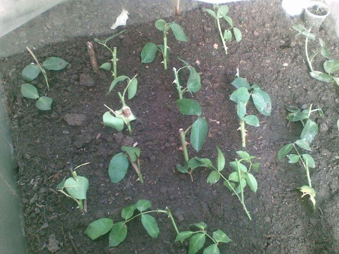 На фото укоренение черенков роз в грунте