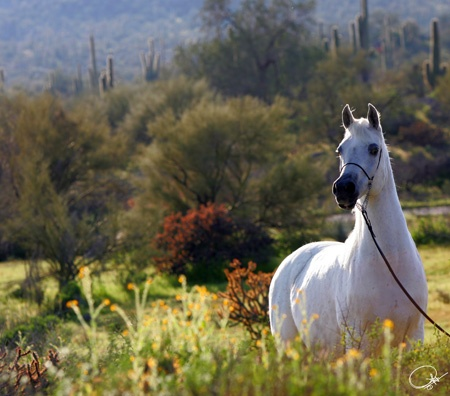 BB Flamingo Rose - Arabian Horse World's Aristocratic Mare (and one I had the pleasure of working with!)