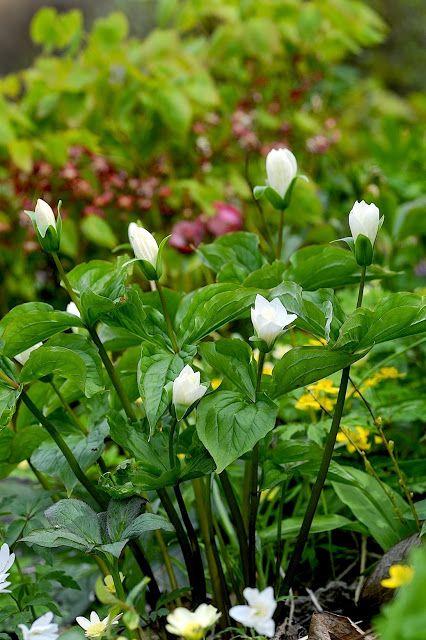 Trillium Treblad