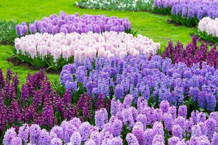 GROW HYACINTH FLOWERS FOR SPRING COLOR & FRAGRANCE Bring vibrant color and delightful fragrance into your spring garden with hyacinth flowers