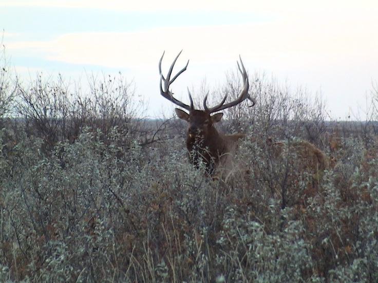 Huge Buck at Lake Diefenbaker, Saskatchewan