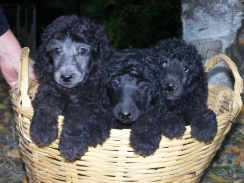 [Dogs] Breed: Standard Poodle, Gender: Male, Age: Baby, Silver or Black Standard Poodle Puppies 8 weeks Males OFA/ AKC - Northern Idaho - 1