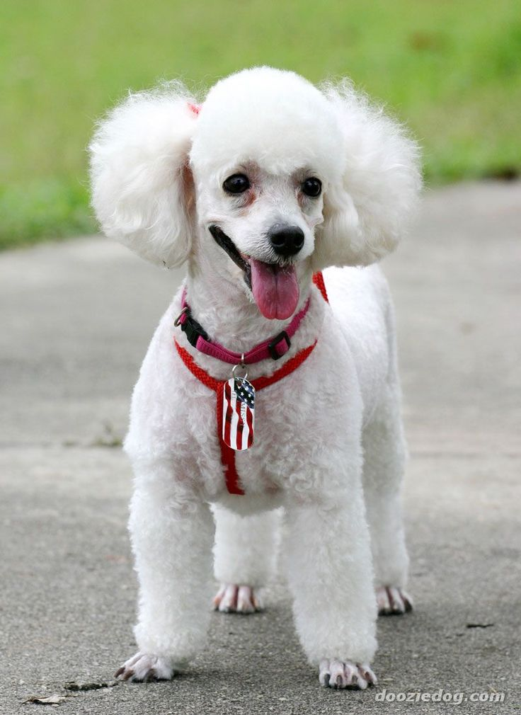 Toy poodle.... in red, white and blue... how cute!!!!