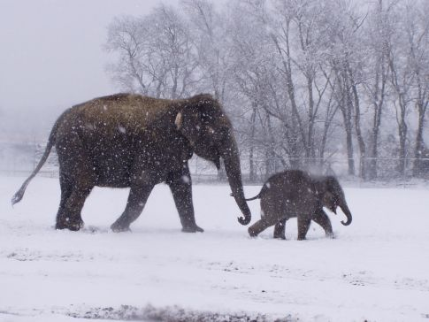 Meet retired circus elephants and their families at Endangered Ark, their haven in southeast Oklahoma.: Asian Elephants, Endangered Elephants, Meeting Retirement, Circus Elephants, Baby Elephants, Ark Foundation, Southeast Oklahoma, Endangered Ark, Retirement Circus