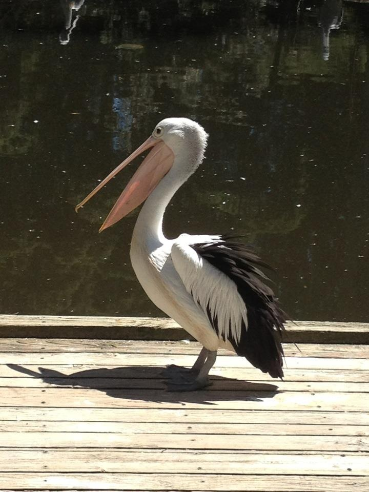 Pelican at Healesville Sanctuary, Australia