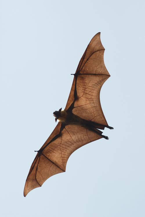 Flying Fox by Milan Zygmunt