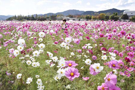 夢コスモス園に50万人 京都・亀岡、圧倒800万本 - 京都新聞 #cosmos #kameoka #kyoto