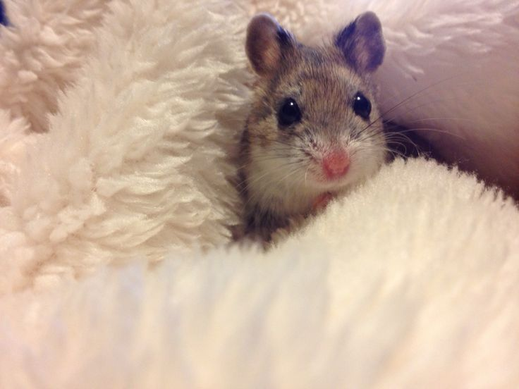 Dwarf hamster....Awwwww!!!  :-)