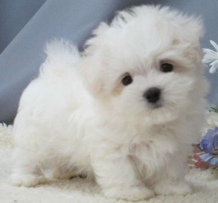 Images For > Newborn Maltipoo