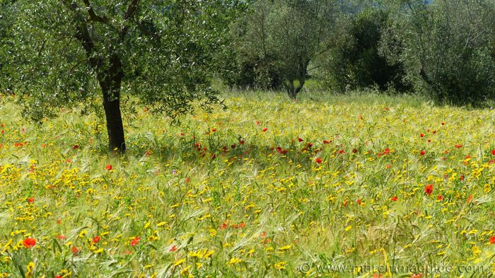 Wild flowers in Maremma Tuscany in Spring.