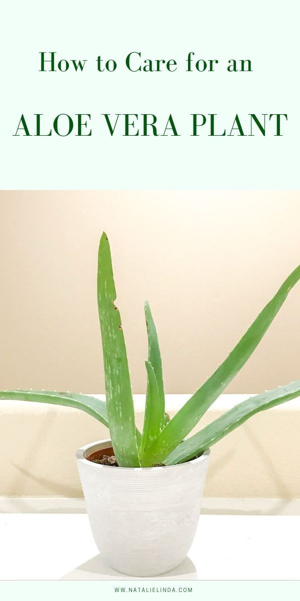 How To Take Care Of Aloe Vera Aloe Vera Plant Care Learn To Grow This Healing Succulent Aloe Vera Plant Plant Care Aloe Vera