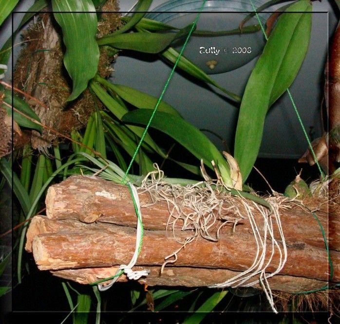 más de 25 ideas increíbles sobre planta orquidea en pinterest