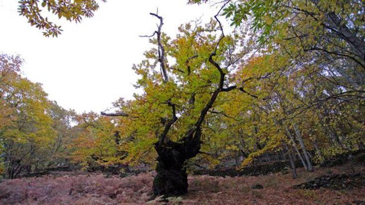 Los Castaños del Temblar, en pleno valle del Ambroz, son el centro de una de las rutas más espectaculares y especiales en cualquier época del año
