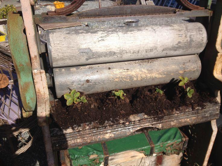 Klesrullen har fått jordbærplanter