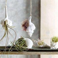 seashell air plants