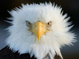 My feathers get ruffled when you mess with the USA...American Bald Eagle - Photograph at BetterPhoto.com