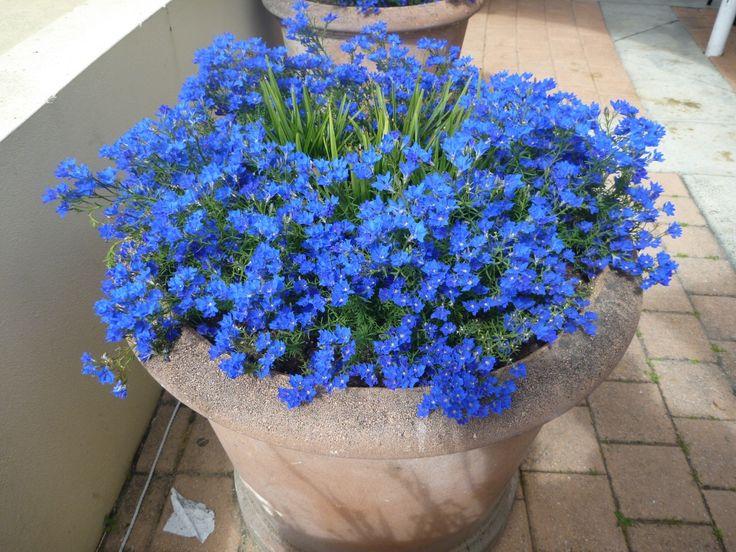 Best Australian Natives to plant in pots Lechenaultia biloba - blue lechenaultia