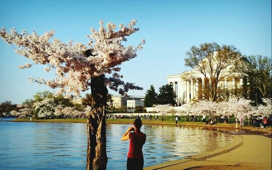 Embracing the beauty of cherry blossoms