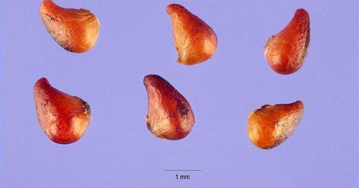 O morango é uma das frutas de verão mais deliciosas, nutritivas e populares que existem. A germinação de sementes de morango é um processo relativamente simples e que, se for ...
