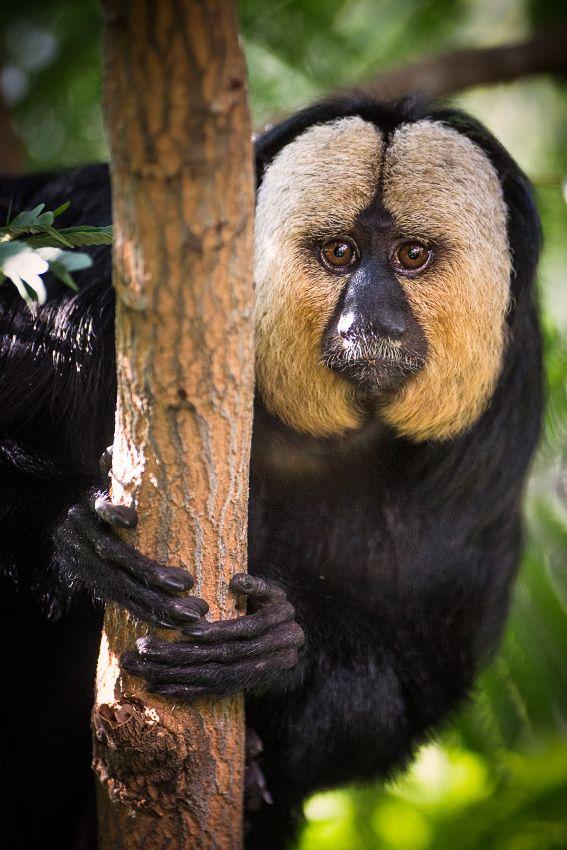 Male White Faced Saki Monkey