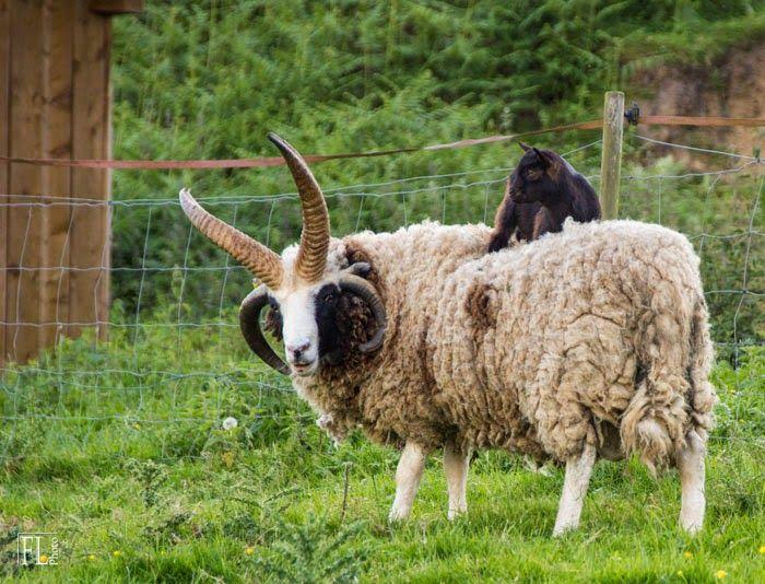 Domaine du Martinaa : Elevage, Gourmandise, Jardinage et Partage: mouton jacob et chevre naine