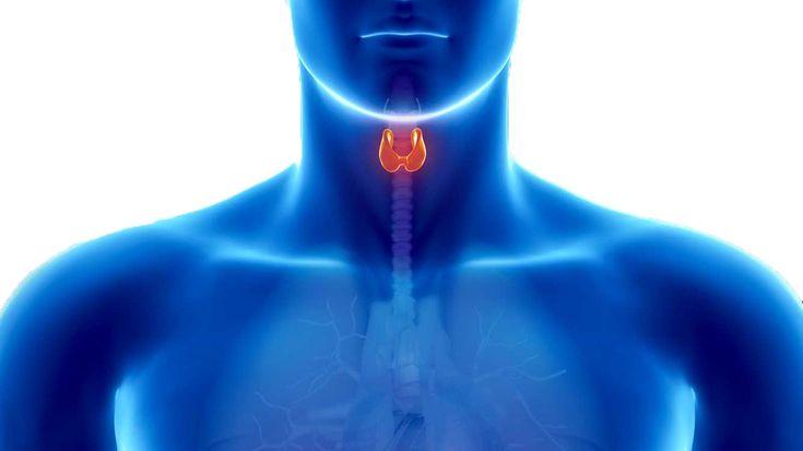 Les hauts et les bas de la vie d'une glande thyroïde  La thyroïde est en quelque sorte le thermostat du corps humain. Ses hormones régulent en effet à peu près toutes les fonctions dans notre corps.