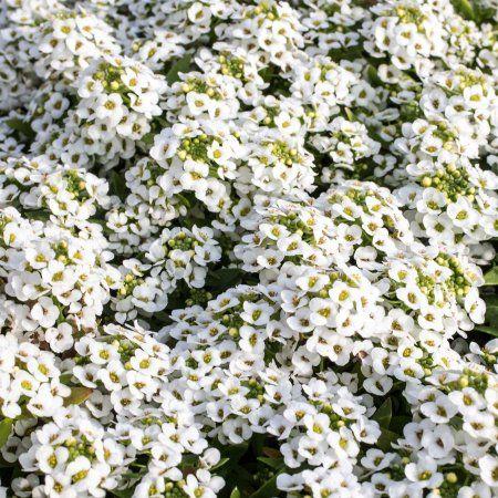 Alyssum Wonderland Series Flower Garden Seeds White Approx 5000 Seeds Annual Lobularia Maritima Walmart Com In 2020 Alyssum Heat Tolerant Plants Plants