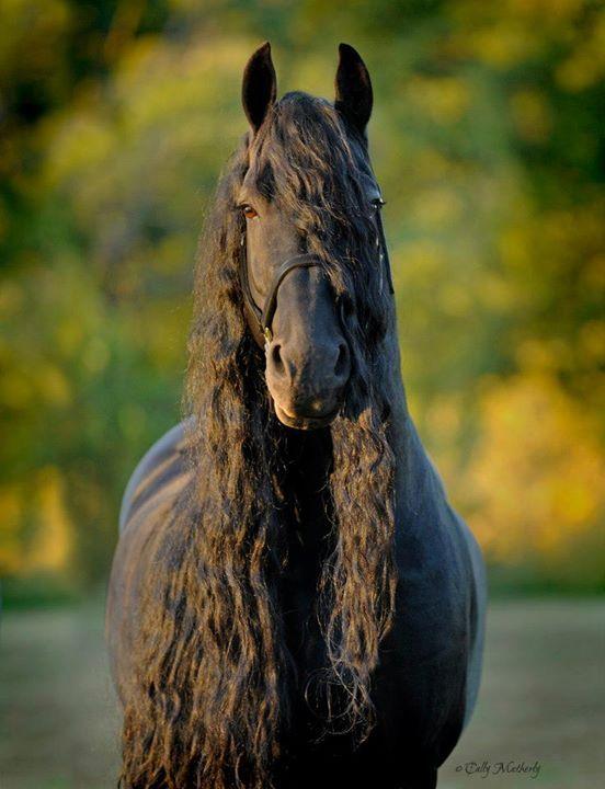 Friesian stallion Frederik the Great