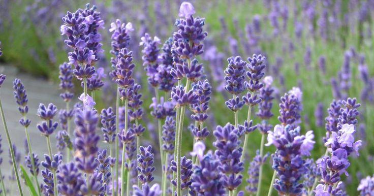 Der im Mittelmeerraum heimische Lavendel ist auch in deutschen Gärten eine beliebte Blütenpflanze. Die Vermehrung durch Stecklinge ist einfacher als gedacht.