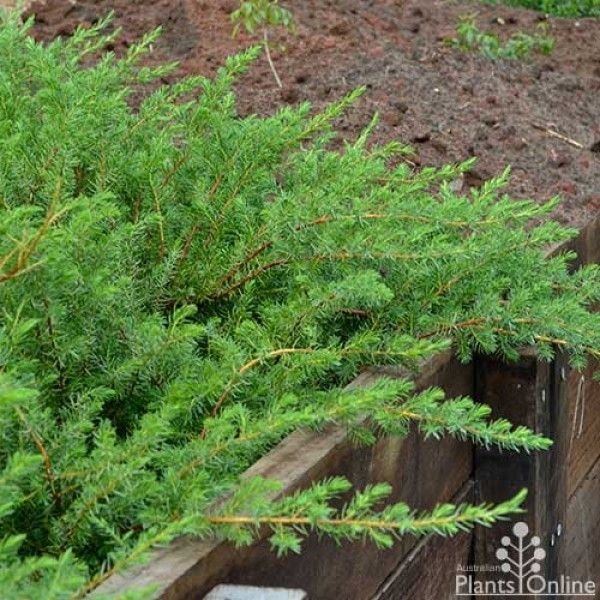 Juniper conferta - shore juniper  http://www.australianplantsonline.com.au/juniperus-conferta-shore-juniper.html