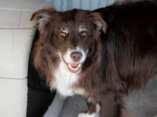Colorado Springs Co Senior Border Collie Meet Bear A Dog For Adoption Dog Adoption Kitten Adoption Pets