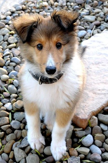 I had a sheltie when I younger. They are adorable as puppies with short hair then all of a sudden poof there so much hair. They are very loyal and loving dogs.