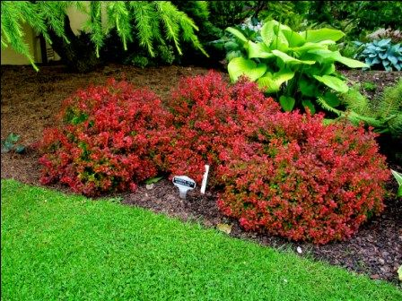 Berberis thunbergii admiration new garden at number 10 for Plants for small gardens
