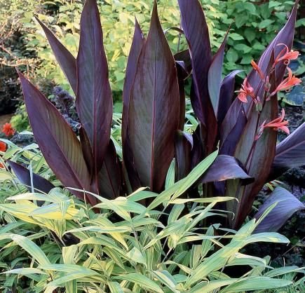 545 best images about plants cannas on pinterest container gardening pretoria and tropical. Black Bedroom Furniture Sets. Home Design Ideas