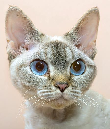 The Devon Rex, cat with a curled fur and a unique expression, has appeared in a spontaneous way in Devonshire.