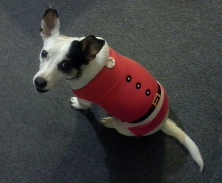 Patch as Santa's helper. VICTORIA Australia Fox terrier