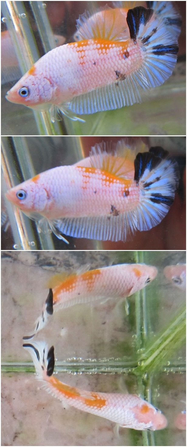 17 best images about koi goldfish bettas on pinterest for Live dragon koi fish