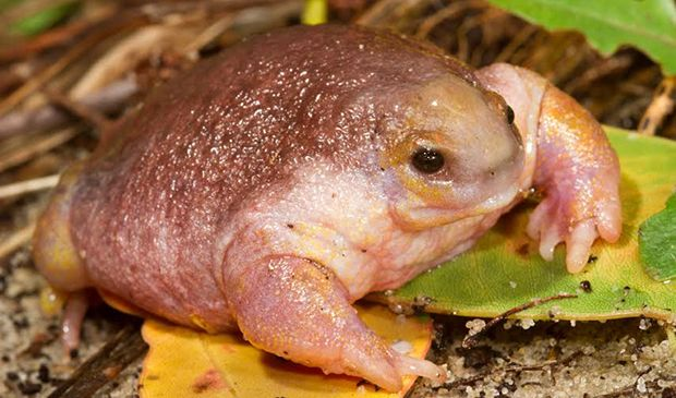 The frog that looks like a turtle - Australian Geographic