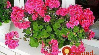 Pestovateľka s nakrajšími muškátmi v okolí prezradila svoj trik: Stačí kvapka tejto látky a budú doslova obsypané kvetmi!
