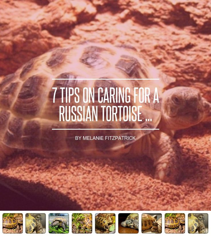 7 Tips on #Caring for a Russian Tortoise ... - #Health